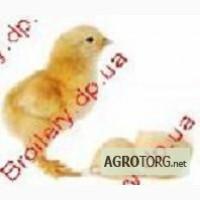 Продаём цыплят бройлеров,утят - broilery.dp.ua