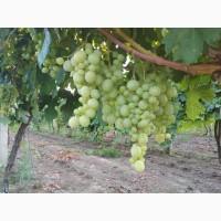 Продам виноград Кешу оптом с поля