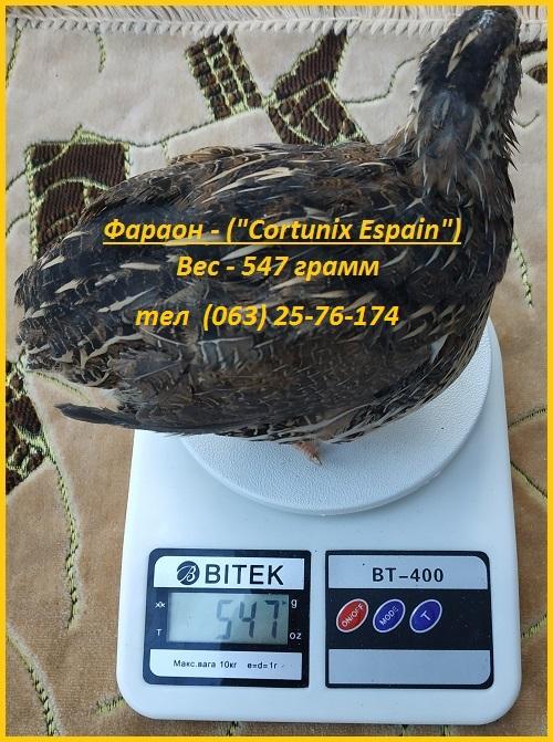 Фото 2. Яйца инкубационные перепела Фараон (Espana)