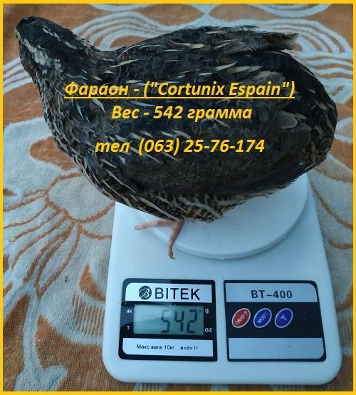 Фото 3. Яйца инкубационные перепела Фараон (Espana)
