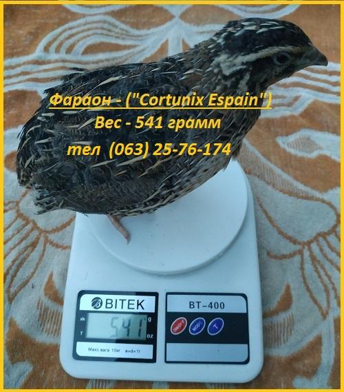 Фото 4. Яйца инкубационные перепела Фараон (Espana)