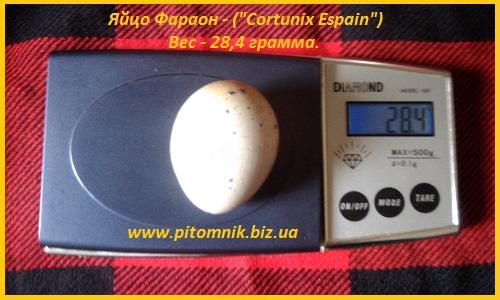 Фото 5. Яйца инкубационные перепела Фараон (Espana)