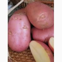Картофель сорт Ред Скарлет ранний 1 репродукция, 3 кг сетка