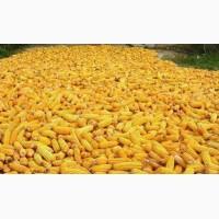 Закуповуємо кукурудзу з поля (вологу)