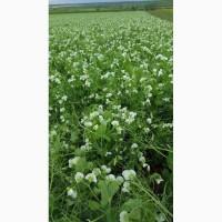 Семена озимого гороха Мороз посевной материал урожая 2019 г