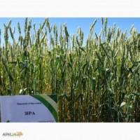 Пшеница сорт зира
