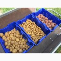 Купить семенной картофель Ривьера, Бела Роса, Гранада, Пикассо и др. почтой ( картошка )
