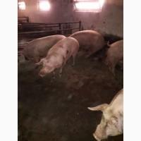 Продам свиней живым весом (15 голов)