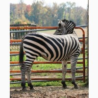 Красива, безпечна фрізька меринова зебра