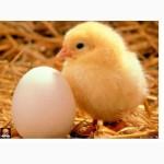 Яйцо куриное ( столовое )
