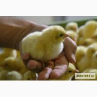 ЧП Вишневая долина реализует молодняк птицы (цыплята, утята, гусята, индюшата)