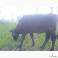 Продам годовалую телку и бычка