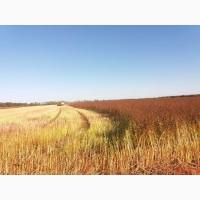 Продам насіння гречихи Гренбі та Арно (Канада), Дикуль та Девятка