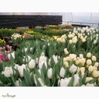 Продам тюльпан