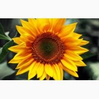 ГРАН» пропонує насіння соняшника «Армагедон»