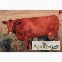 Куплю высокоудойных коров