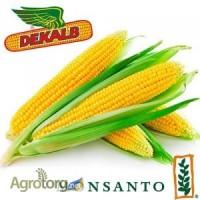 Насіння кукурудзи від Монсанто