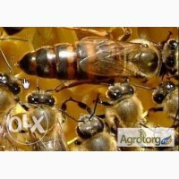 Бджоломатки -Пчеломатки Степной Украинской Породы Доставка