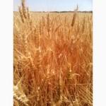 Шестопаловка озимая пшеница