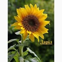 Даріл - насіння гібриду соняшнику