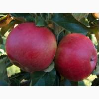 Cаджанці яблуні сорту Айдаред на карликовій підщепі М9