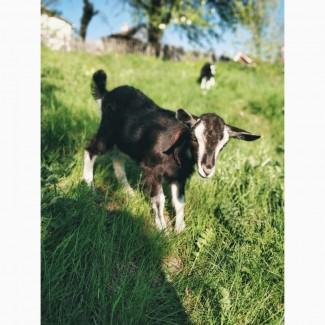 Продаем двух симпатичных коз и козла, 1 месяц