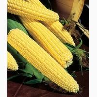 Продам суперсладкую кукурузу Трофи