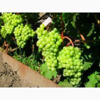 Есть виноград на крупный опт