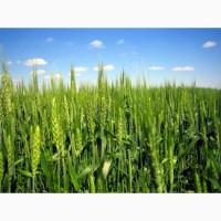 Озимая пшеница Фаворитка элита