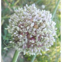 Продам насіння часнику - воздушка