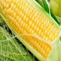 Кукуруза Оржица семена