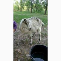 Продам козу и козла