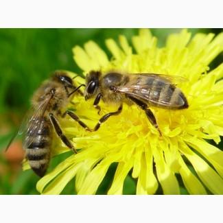 Продам бджолопакети та бджолосімї
