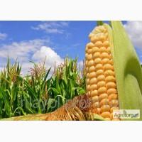 Продам Семена кукурузы Лимагрейн гибрид Адевей