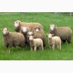 Закупаем КРС, ВРХ, бычков, коров, телят, овец, лошадей живым весом по рыночной цене