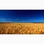 Производим оптовые ЗАКУПКИ зерновых и масличных культур, Украина