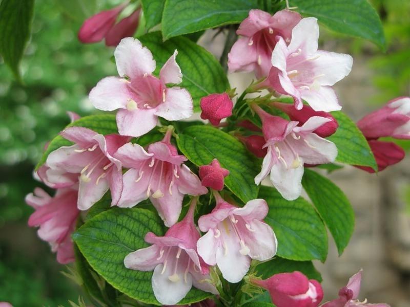 Жасмин розовый цветок