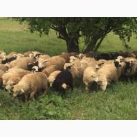 Овцы бараны ягнята