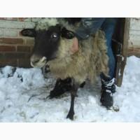 Чистопородные романовские овцематки