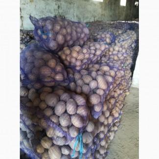 Продам картоплю Белороса 22т