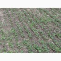 Канадська гречка Granby Гренбі ГМО семена гречихи насіння гречки