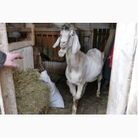 Продаются 2 породистых нубийских козла