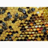 Продам бджіл (пчелы) КИЇВ