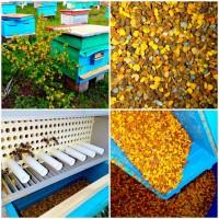 Пчелиная обножка/цветочная пыльца/пилок бджолиний/ОПТ