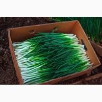 Продам лук зеленый Штутгарт