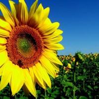 Насіння соняшника Солтан, 115-120 днів