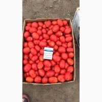 Продаем помидор грунтовой с поля, оптом