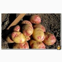 Продам велику картоплю, сорти Пікассо, Бела роса