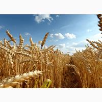 Продам посевной материал озимой пшеницы Зимница суперэлита Краснодарская селекция