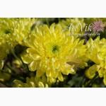 Саженцы хризантем - оптовая продажа